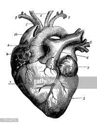 human heart vector art getty images