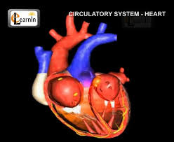 Simple Anatomy And Physiology Human Circulatory System Heart Working Human Anatomy And