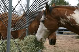 the overweight horse who won u0027t stop eating holistichorse com
