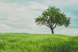 tree in green wheat field photo by johann siemens johannsiemens
