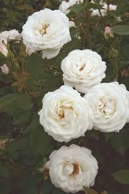 Fragrant Rose Plants - 203 best star roses and plants images on pinterest garden roses