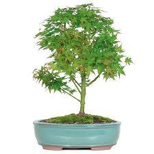 japanese maple bonsai tree for sale