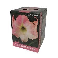 amaryllis apple blossom gift box flower bulbs r us