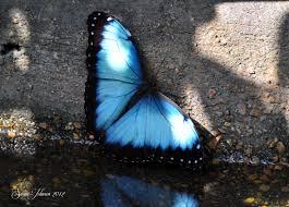blue morpho butterflys image