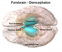 Thalamus Part Of The Brain Parts Of The The Brain The Forebrain Telencephalon