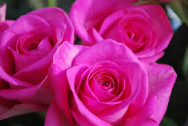 Colorful Roses Roses Images Colorful Roses Hd Wallpaper And Background Photos