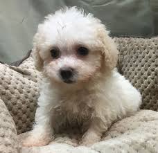queen s dogs selling popular designer breeds queens ny cavachon goldendoodle