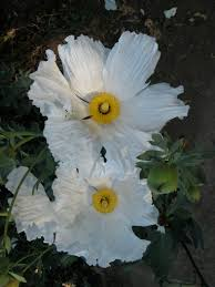 native plant society of oregon matilija poppy u201cqueen of california flowers u201d u2013 california native