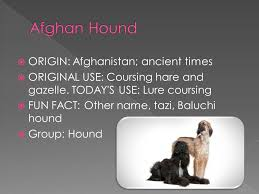 afghan hound group origin afghanistan ancient times original use coursing hare