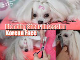 joypia yorkshire haircuts grooming blending shear obsession maltese korean cut faces w