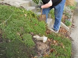 removing monkey grass how to get rid of monkey grass
