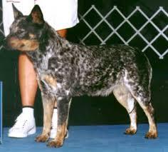 australian shepherd qld australian cattle dog australian cattle dogs american kennel