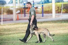 belgian malinois k9 attack scarred u0027come get ur bite u0027 watchdog sarasota