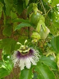 flower fruit growing fruit and flowers in arizona passiflora