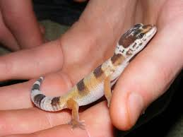 nw england baby leopard geckos for sale reptile forums