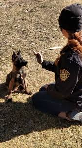 resume template customer service australian kelpie breeders north police dog puppy concentrating during training jpg 838x0 q80 jpg
