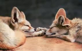 sleeping red fox wallpapers sleeping red fox wallpaper animals wallpaper better