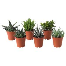 desk cactus plants u0026 cacti house plants u0026 potted plants ikea
