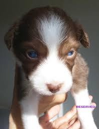miniature australian shepherd 6 weeks australian shepherd puppies pure bred mini u0027s kevin frazier