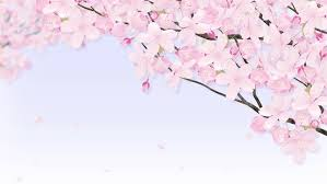 white cherry blossom trees free stock footage