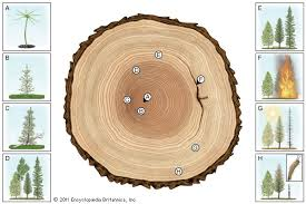 wood tree rings images Growth ring plant anatomy jpg