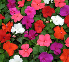 impatiens flowers the end of impatiens plants flower and gardens
