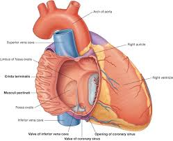 Diagram Heart Anatomy Anatomy Organ Pictures Heart Right Atrium New Collection