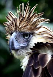 images?q=tbn:ANd9GcT2cHdrqDron3W4mLFe-IzHRAaLXHGEi1rGxuNAHTudcDZZ9E3g - The Philippine Eagle - Philippine Photo Gallery