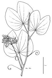 file caesalpinioideae jpg rainforest plants