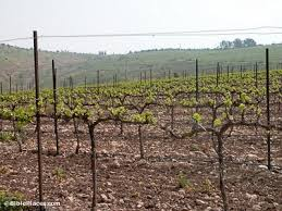 Planting Grapes In Backyard Grapevines And Vineyards Bibleplaces Com