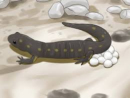 how to catch a salamander 13 steps with pictures wikihow