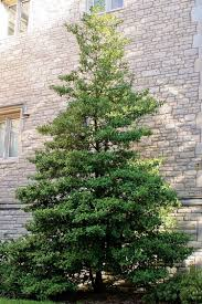 native missouri plants american holly mdc discover nature