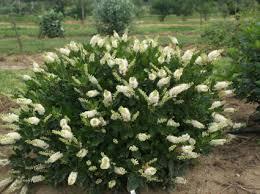 Fragrant Shade Plants - clethra summer sweet u0027vanilla spice u0027 a fragrant long island native