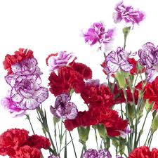 wholesale carnations mini carnations assorted wholesale carnations