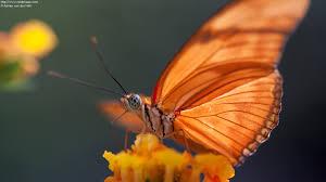 photo of orange julia butterfly on flower dryas iulia