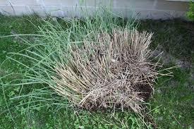 how to divide ornamental grass backyard gardening