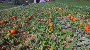 Burts Pumpkin Farm 2015 by Pumpkin Patch Fly Over Youtube