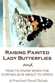 298 best butterfly unit images on pinterest butterfly life cycle
