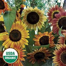 sunflower seed packets heirloom sunflower seeds