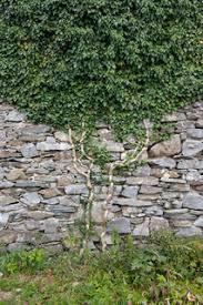 Tropical Climbing Plant - climbing plant on the stone wall stock photo colourbox
