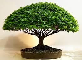 herons bonsai where to buy a bonsai tree most buy their