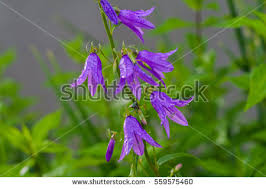 Fowers Bell Fowers Stock Images Royalty Free Images U0026 Vectors Shutterstock