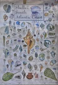 Where To Buy Seashells Best Places To Look For Seashells And Shark Teeth Beachcombing In