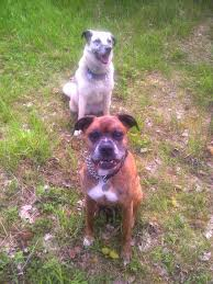 2 female boxer dogs together ottawa valley dog whisperer how to stop your dogs from fighting