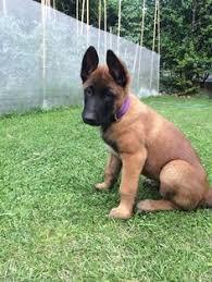 belgian sheepdog breeders uk belgian malinois breeders louisiana puppies pinterest