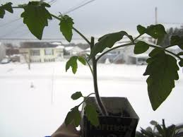 pruning your indoor tomato plants hobbyjunkies
