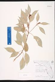 Canopy Synonyms by Cinnamomum Camphora Species Page Isb Atlas Of Florida Plants