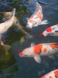 free images pond japan koi aquarium fish colored carp