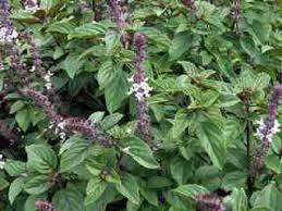 cedar ridge farm distinctive quality herb plants