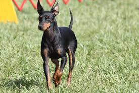 affenpinscher jakt manchester terrier breed information manchester terrier images